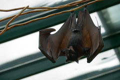 Giant Bat (Pteropus vampyrus) Stock Photo