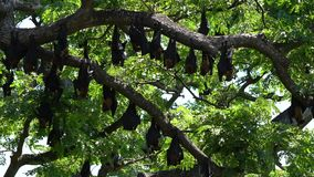 Giant bats hang upside down in trees waiting for dusk