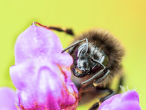 Giant Bee Royalty Free Stock Photos