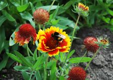 A giant bee feeding on a red and yellow flower. A large black and yellow bee feeding from a flower. The flower has dozens of red and ywllow petals. Other lowers Stock Photography