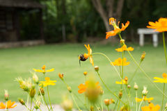 Giant bee worker and cosmos flower field. Royalty Free Stock Photo