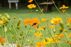 Giant bee worker and cosmos flower field. Royalty Free Stock Photography