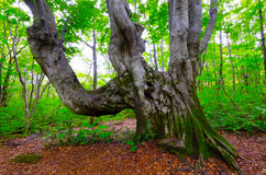 Giant beech tree Stock Photos