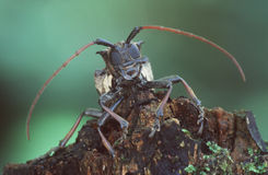 Giant beetle. Longhorn beetle portrait stock photos