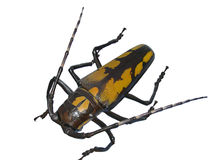 Giant beetle Royalty Free Stock Photos
