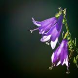 Giant bellflower Stock Images