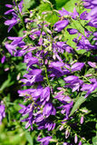 Giant bellflower (Campanula latifolia) Royalty Free Stock Photos