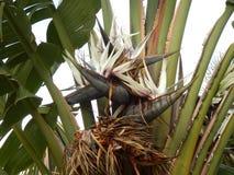 Giant Bird of Paradise Plant Stock Image