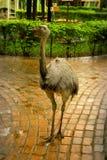Giant birds Ñandúes stock photography