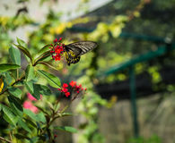 The giant black butterfly on the red flower is eating the pollen. On the green leaf Stock Image