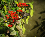 The giant black butterfly on the red flower is finding the polle. N. Its totally contrast between these two colors Royalty Free Stock Image