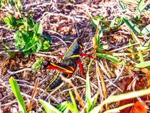 Giant black Lubber Grasshopper looking at camera Royalty Free Stock Image