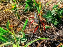 Giant black Lubber Grasshopper looking at camera Royalty Free Stock Photo