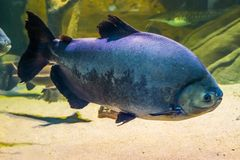 Giant black pacu, tropical big fish from the amazon basin of America, popular pet in Aquaculture. A Giant black pacu, tropical big fish from the amazon basin of royalty free stock photos