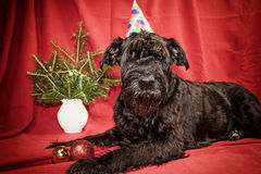 Giant Black Schnauzer dog in Christmas time Royalty Free Stock Photography