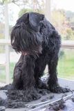 Giant Black Schnauzer dog is looking on the pile of cut dog hair. Giant Black Schnauzer dog is standing on the grooming table and is looking on the pile of cut Stock Photo