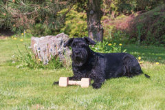 Giant Black Schnauzer Dog and wooden toy. Royalty Free Stock Images