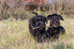 The Giant Black Schnauzer dogs. Couple of cute puppy and old dog of Giant Black Schnauzer is lying iin the autumn grass. The puppy is holding a stick in its Royalty Free Stock Photography