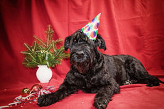 Giant Black Schnauzer in holiday time Stock Images