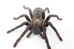 Giant Black spider isolate on white Royalty Free Stock Images