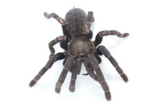 Giant Black spider isolate on white Stock Photography
