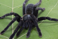 Giant Black spider isolate on white Royalty Free Stock Photography