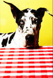 Bright colorful image of a black and white spotted Great Dane Dog. Giant black and white Great Dane in front of a checked table cloth. Colorful image, whimsical Royalty Free Stock Photo
