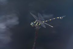 A giant black and yellow dragonfly Stock Images