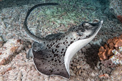 Free Giant Blackparsnip Stingray Fish During Night Dive Royalty Free Stock Photography - 72934337