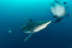 Giant Blacktip Royalty Free Stock Images