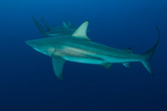 Giant Blacktip Royalty Free Stock Photography