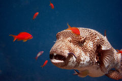 Giant blowfish great Stock Images