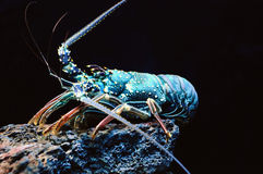 Giant blue sea lobster Royalty Free Stock Image