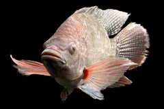 Giant Blue Tilapia Fish Royalty Free Stock Photos