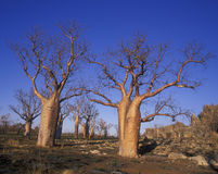 Giant Boab trees Royalty Free Stock Images
