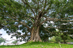 Giant Bodhi tree, Anuradhapura, Sri Lanka Royalty Free Stock Images