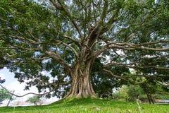 Giant Bodhi tree, Anuradhapura, Sri Lanka.  Royalty Free Stock Images