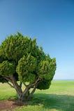 Giant Bonsai. Bonsai style tree on green field under bright blue sky Stock Image