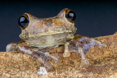 Giant Brazilian Tree Frog / Hypsiboas boans. The largest Tree Frog species of Brazil. These frogs are the giants of the trees Royalty Free Stock Images