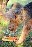 Giant breed Airedale Terrier dog playing in water Royalty Free Stock Images