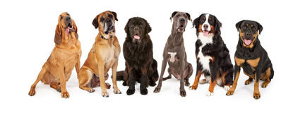 Giant Breed Dog Group. Group of giant breed dogs sitting in a row Royalty Free Stock Image