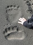 Giant brown bear tracks. Girls hand next to brown bear tracks in Alaska Stock Images