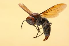 Free Giant Brown Paper Wasp, Known By The Scientific Name Polistes Gigas Stock Photo - 153458410