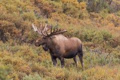 Giant Bull Alaska yukon  Moose Stock Photos