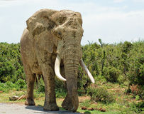 Giant bull elephant Royalty Free Stock Images