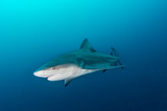 Giant bull shark Royalty Free Stock Image