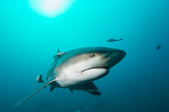 Giant bull shark Stock Photo