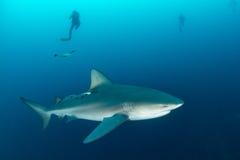 Giant bull shark Stock Photography