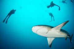 Giant bull shark Stock Images