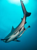 Giant bull shark Royalty Free Stock Photo